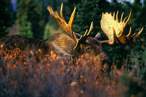 """BULL MOOSE (Alces alces). The name 'moose"""" is derived from the Algonkian name that means """"eater of twigs"""". Autumn. Denali National Park, Alaska."""