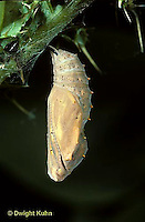 LE37-004a  Butterfly - early pupa (chrysalis) Vanessa cardui (series - LE37-004a,005b,006b, 007a,015b)