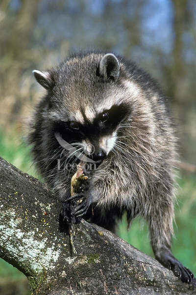 Raccoon (Procyon lotor) eating frog it has caught.  Pacific Northwest.  Spring.