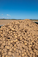 Loaded potato trailer- Lincolnshire, August