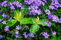 Yellow trillium (Trillium luteum) and wild blue phlox (Phlox divaricata)