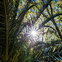 A blue sky and bursting sun lie just beyond a canopy of palm and deciduous leaves and branches.