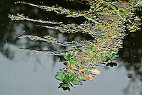 Eichhornia crassipes vista en el Jardín Botánico, José Celestino Mutis, de la ciudad de Bogotá, Colombia./ Eichhornia crassipes seen at the Botanic Garden, Jose Celestino Mutis, in Bogota, Colombia. Photo: VizzorImage/ Gabriel Aponte / Staff
