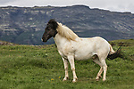 A unique-looking Icelandic horse with a black head and white body rests on a small patch of grass.  The animal's multicoloured mane blows around in the wind as it looks around.<br /> <br /> The extremely rare horse was pictured in the remote and desolate region of Blaskogabyggd in Southern Iceland.  SEE OUR COPY FOR DETAILS.<br /> <br /> Please byline: Bragi J. Ingibergsson/Solent News<br /> <br /> © Bragi J. Ingibergsson/Solent News & Photo Agency<br /> UK +44 (0) 2380 458800