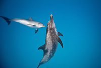 Atlantic spotted dolphin, Stenella frontalis, mother, calf, Bahamas, Atlantic Ocean
