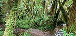 Cool temperate rainforest, Fox Glacier, New Zealand