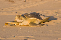 flatback sea turtle, Natator depressus, female crawling back down nesting beach toward ocean after nesting, endangered and endemic species, Crab Island, Cape York Peninsula, Torres Strait, Queensland, Australia