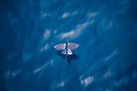 flying fish, flying, Family: Exocoetidae, Atlantic Ocean