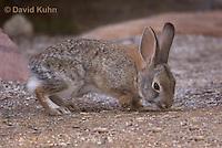 1115-0806  Desert Cottontail Rabbit (Audubons Cottontail), Sylvilagus audubonii © David Kuhn/Dwight Kuhn Photography