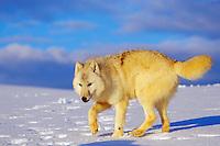 Arctic wolf (Canis lupus)