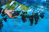 BNPS.co.uk (01202 558833)<br /> Pic: ZacharyCulpin/BNPS<br /> <br /> Net gains in a sea of grapes...<br /> <br /> Pictured: Simon Priestman inspects the grape crop in the netting<br /> <br /> A vineyard has been forced to cover their grapes with netting after greedy wildlife kept stealing their crop.<br /> <br /> Little Waddon Vineyard in Dorset has been targeted by a brazen family of deer, gluttonous badgers and thieving magpies and woodpeckers stealing their fruit.<br /> <br /> To stop the shameless thefts they have spent a week covering the 4,000 vines with 6,500 yards of netting.<br /> <br /> The vineyard was established in 2004, but Karen and Simon Priestman took it over in 2018.