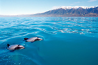 Hector's dolphins, Cephalorhynchus hectori, Kaikoura, New Zealand, Pacific Ocean