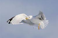 Adult Ring-billed Gull (Larus dalewarensis) in breeding (alternate) plumage in flight. Ontario County, New York. February.