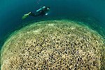 Vast fields of vase or tiered corals (Echinopora sp.) with diver.