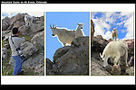 Wildlife photography and Mountain Goats on nearby Mt Evans.<br />