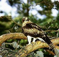 Zwergadler, Zwerg-Adler, Adler, Hieraaetus pennatus, Aquila pennata, Aquila minuta, booted eagle, L'Aigle botté