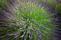 Close up of lavender plant in bloom. Washington.