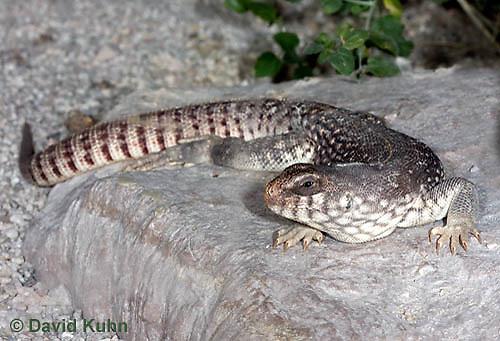 1119-0805  Desert Iguana, Dipsosaurus dorsalis © David Kuhn/Dwight Kuhn Photography