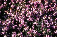 Schneeheide, Winterheide, Frühlingsheidekraut, Schnee-Heide, Winter-Heide, Frühlings-Heidekraut, Erica carnea, Erica herbacea, winter heath, winter flowering heather, spring heath, alpine heath