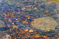 Pair of spawning Brook trout (Salvelinus fontinalis) in small mountain stream in Beartooth Mountains near the Montana/Wyoming border.  Fall.