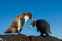Galapagos penguin, Spheniscus mendiculus, Pacific Ocean, Ecuador, Galapagos, A pair of Galapagos penguins. Bird