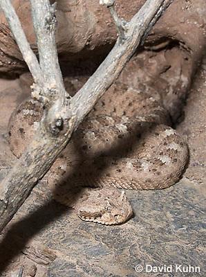 0518-1103  Sidewinder Rattlesnake (Horned Rattlesnake), Crotalus cerastes  © David Kuhn/Dwight Kuhn Photography