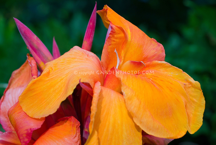Canna Tropicanna orange flower, summer flowering bulb