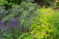 Sambucus Black Lace shrub with Spiraea Goldflame and Salvia for pretty garden border of shrubs and perennials, foliage and flowers