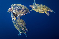 Mating pair of Green Sea turtles, Chelonia mydas, with additional interloper males attempting to dislodge the primary male. Sipadan Island, Malaysia.