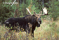 MS01-121z  Moose - bull (male) in Baxter State Park, Maine - Alces alces.