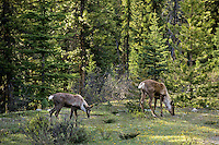 Two woodland or mountain caribou cows, June.  Northern Rockies.