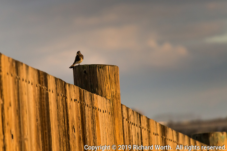A Black phoebe briefly lights on a post at the observatoin platform before swiftly switching to the opposite railing,  then back to a position on the post side.  Back and forth, taunting the photographer near sunset at the MLK Jr. Regional Shoreline.