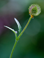Wildflower seed head