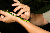 A student holds a Cope's Parrot Snake, Leptophis depressirostris, at Tirimbina Biological Reserve, Costa Rica