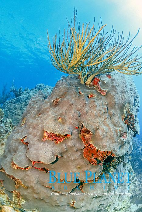 age, boring sponges excavates through the skeleton of the star coral, Montastrea annularis, Florida Keys, Atlantic Ocean