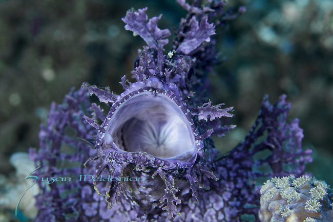 Rhinopia frondosa, Weedy Scorpionfish, Purple, Ambon