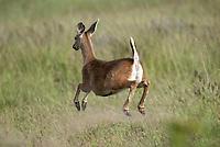 Black-tailed (odocoileus hemionus columbianus)  deer on San Juan Islands