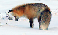 A red fox listens intently for any movement under the snow for possible prey during winter at Yellowstone National Park's Hayden Valley