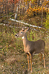 White-tailed doe in autumn