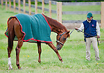 Barn Foreman Noe Lagunas with Animal Kingdom, winner of the 137th Kentucky Derby,as he grazes at the Fair Hill Training Center on May 18, 2011 in Fair Hill, Maryland.