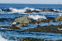 Harlequin ducks resting on rocks, Pacific Ocean, Pacific Northwest.