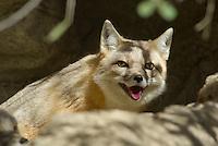 Swift Fox (Vulpes Velox).  Central North American prairies.