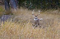 White-tailed Deer buck (Odocoileus virginianus), Western U.S., Late Fall.