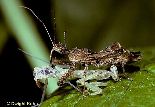 1M27-003x  Assassin Bug eating mantis nymph
