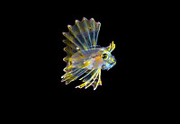 larval lionfish, Pterois sp., photographed during a blackwater drift dive in open ocean at 20-40 feet with bottom at 500 plus feet below, Palm Beach, Florida, USA, Atlantic Ocean