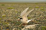 An arctic tern at nest, Kongakut River, Alaska
