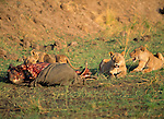 Lion feed on a carcass together in Africa............................................................................................................................................................................................................................................................................................................................................................................................................................................................................................................................................................................................................................................................................................................................................................................................
