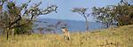 Female Cheetah (Acinonyx jubatus) patrolling territory. Ol Kinyei Conservancy, Masai Mara, Kenya.