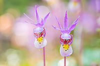 Pink spring Fairy Slipper or Calypso Orchid blossom, Fairbanks, Alaska.