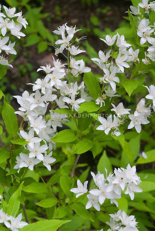Deutzia gracilis 'Nikko' aka Deutzia crenata Nikko in white spring flowers, slender deutzia shrub